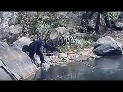 Wild Chimpanzees Spotted 'fishing'