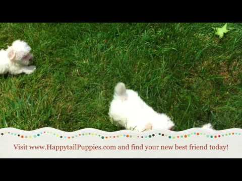 Maltese Puppies For Sale In Raleigh NC