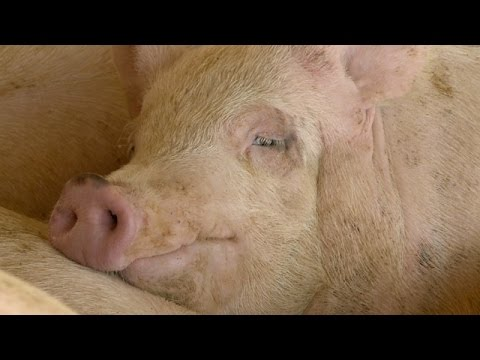 Hog Market Analysis - Ron Plain - November 25, 2016
