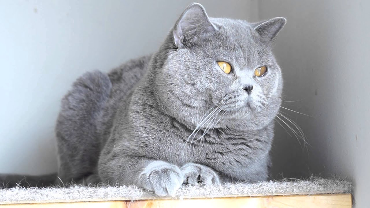 One year old male British tom cat, cattery Fantasy Avalon ...