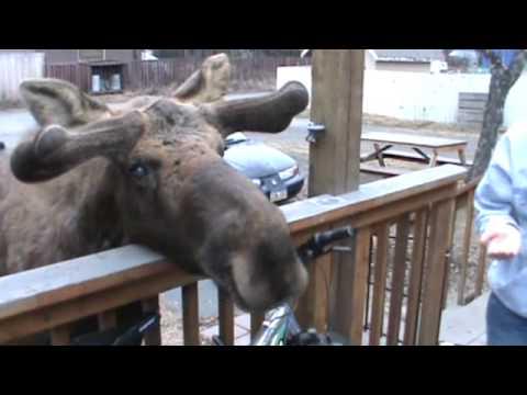 Feeding and Petting a Bull Moose