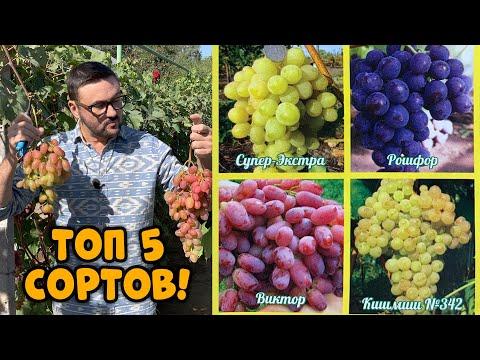 ЛУЧШИЕ СОРТА ВИНОГРАДА. Как правильно выращивать виноград?