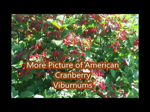 About    Growing The American Cranberry Bush