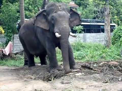 Musth Elephant / punnathurkotta/guruvayoor/kerala ...