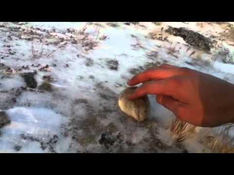 """Cute Little Lemming"" in Salluit, Quebec"