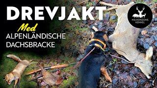 Drevjakt med Alpenländische dachsbracke.