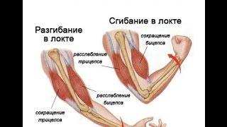 Строение мышц. Урок биологии.  8 класс(Видеоурок по теме