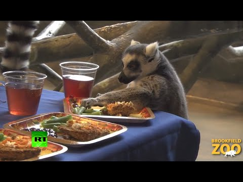 Cute video: Lemurs party hard on Thanksgiving