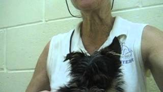 Meet Valentino A Terrier Yorkshire Currently Available For Adoption At Petango.com! 9/10/2014 3:02: