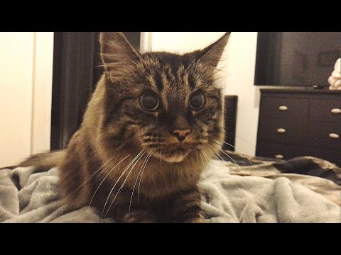 ADORABLE MAINECOON CAT KNEADING