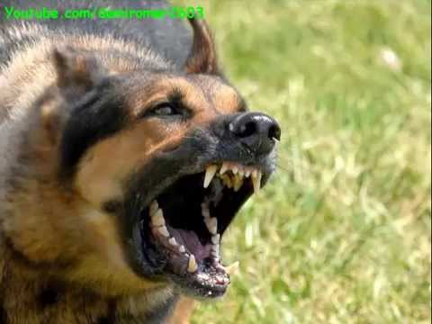 Köpek Sesi