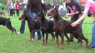 Dobermann Star 2013  females