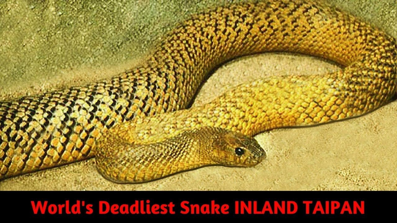 Worlds Most Deadliest Snake INLAND TAIPAN / WESTERN TAIPAN ...
