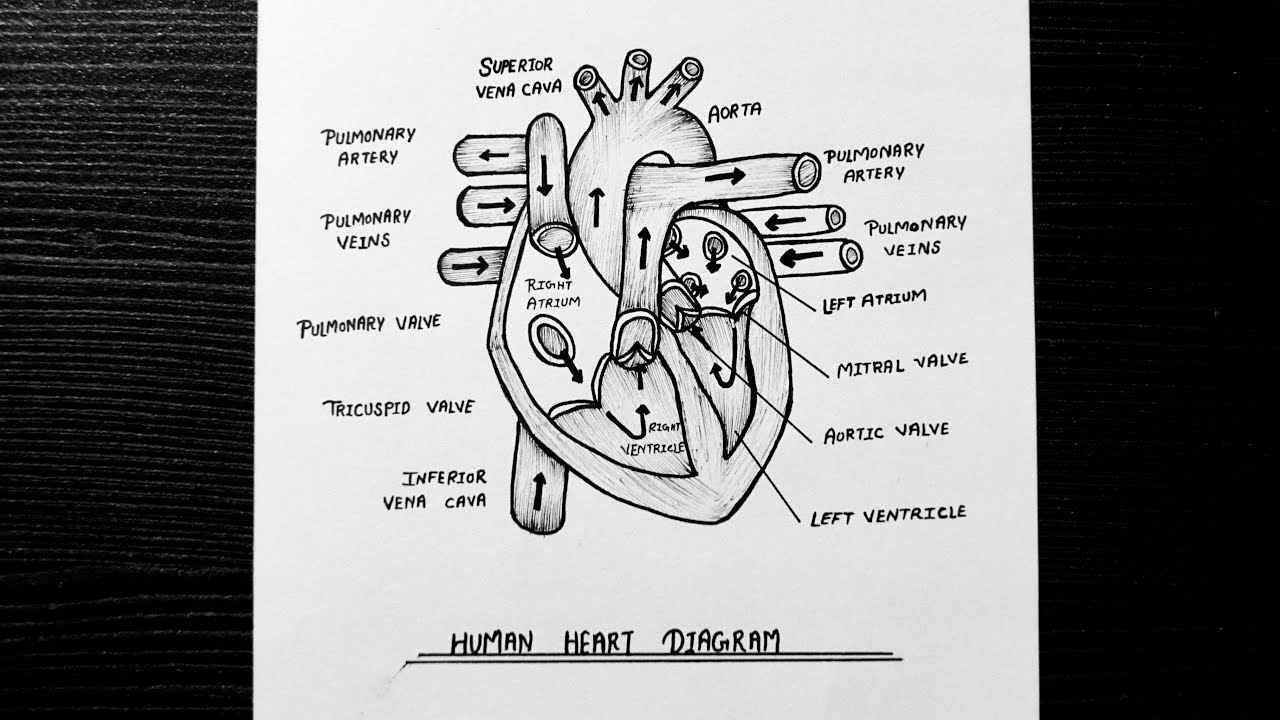 How To Draw Human Heart Class 10 Step By Step - Learn How ...
