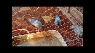 mini lago para patos e galinhas - Formando chácaras com Vin...