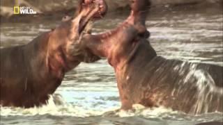Кровавые соперники: Гиппопотамы против львов.