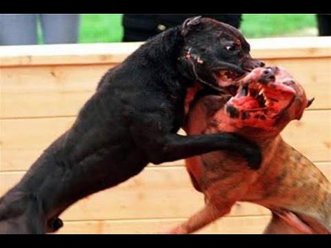 La pelea de perros mas grande y terror fica del mundo del for La casa mas grande del mundo