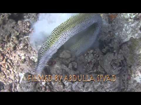 Honeycomb moray eel Vs Octopus