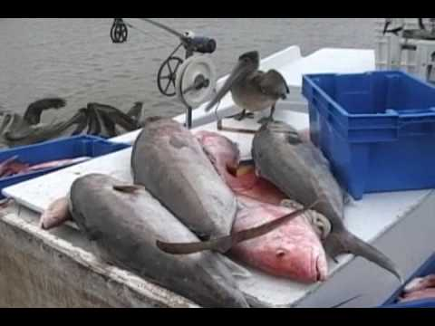 COMMERCIAL FISHING OFF SHORE FOR AMBERJACK,WARSAW GROUPER,RED SNAPPER,AND KING FISH