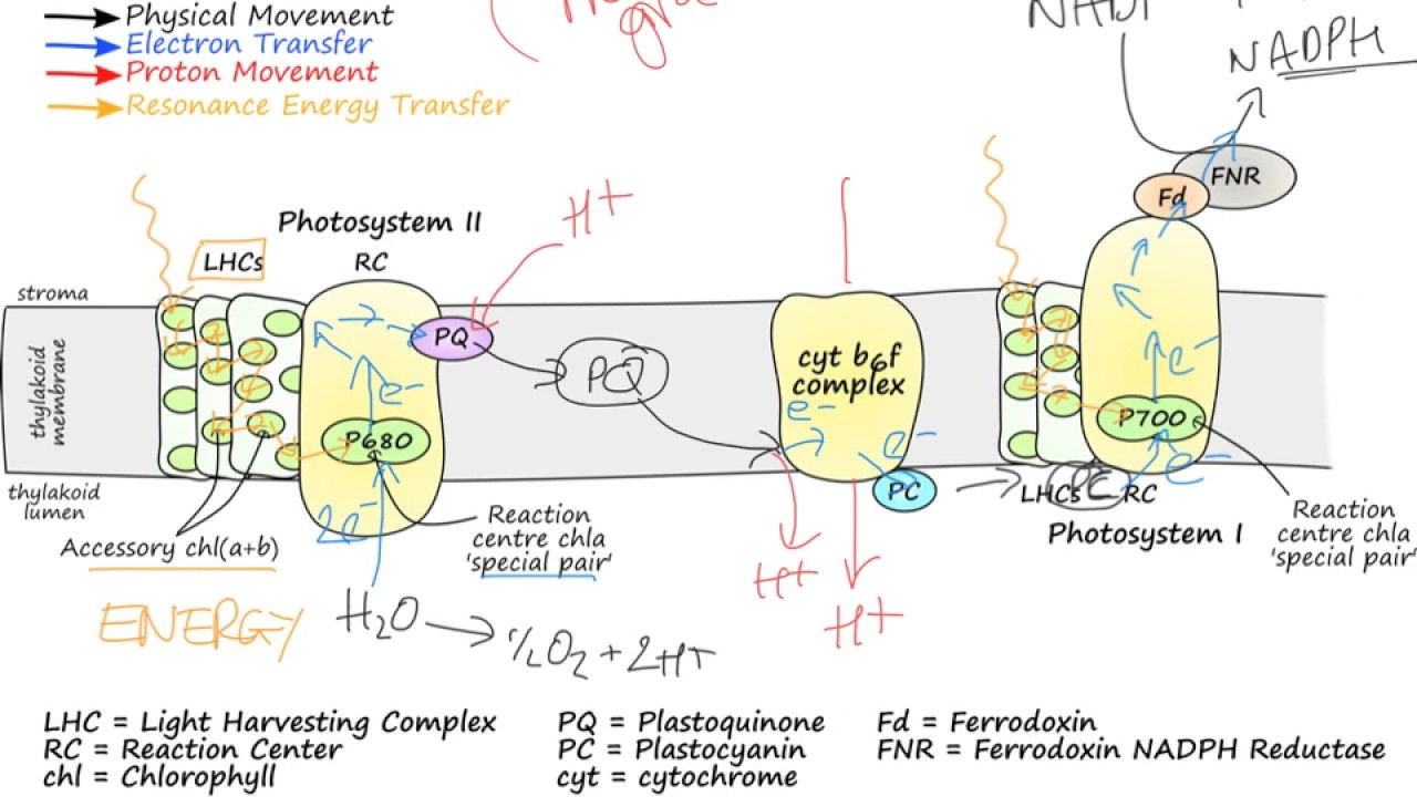 Photosynthetic electron transport youtube photosynthetic electron transport ccuart Choice Image