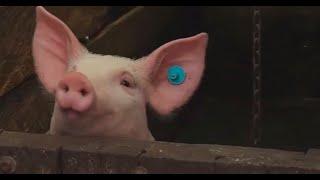 ¿Por qué los cerdos son más sensibles a las micotoxinas? - La Finca de Hoy