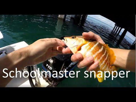 Schoolmaster Snapper At Key Biscayne