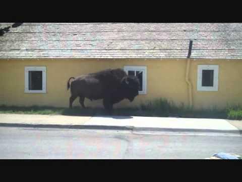 Lake Hotel Buffalo Close Encounter Yellowstone National Park