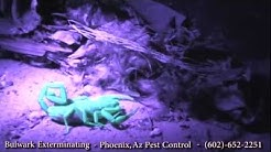 Black Light Hunting Scorpions- Phoenix, Arizona- Pest Control by Bulwark Exterminating (2 of 2)