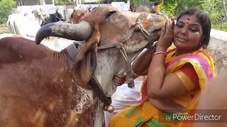 COW DWARIKA KEE गिर गाय की वीसेसता आप जाने ,HEMANT TV CHANNEL पर