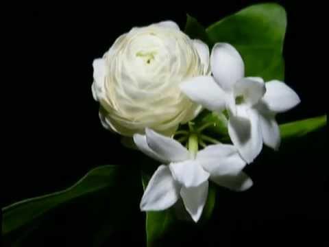 Flower blooming Jasmine YouTube