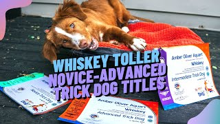 Nova Scotia Duck Tolling Retriever earns her NoviceAdvanced Trick Dog Titles at 4 months old!