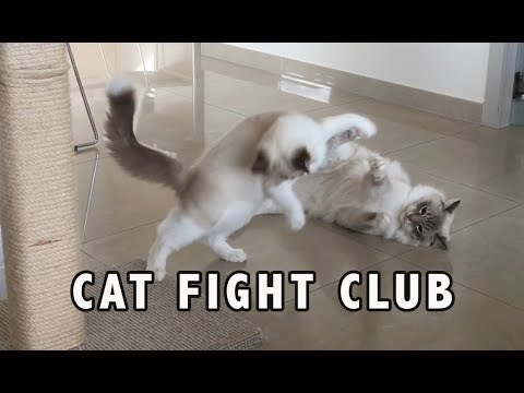 Are cats fighting or playing? Kitten best wrestling moves?