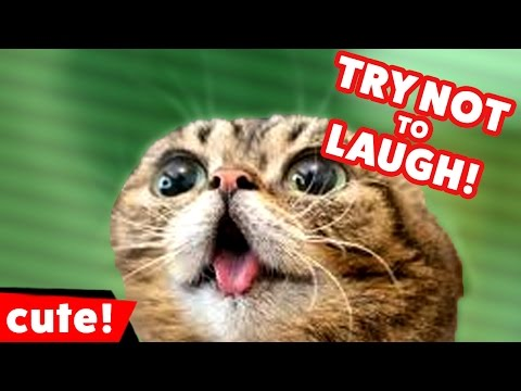 Try Not To Laugh at These Funny Cat Videos of 2016 Weekly Compilation | Kyoot Animals