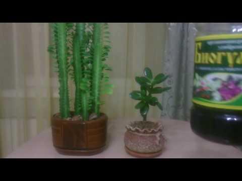 Комнатные растения. Формируем ствол / Молочай трехгранный / Толстянка