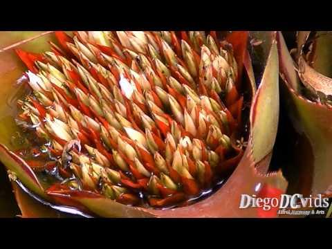 Bromelia species - Bromélia (Bromeliaceae - Bromelioideae) Brasil
