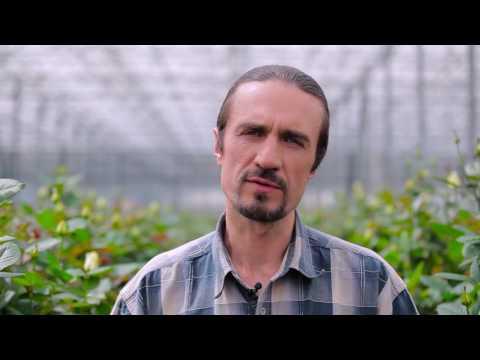 Компания Камелия, производитель роз в Украине