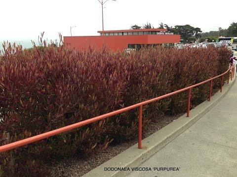 Dodonaea viscosa 'Purpurea' -  Purple Hop Bush ( Purple Hopseed Bush)