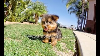 Dallas The Super Spunky Akc Yorkshire Terrier Male Puppy For Sale Near San Marcos, Ca