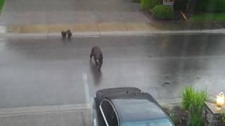 Bears in Sammamish Part 1