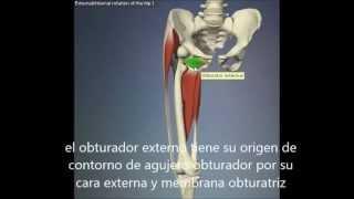 Del musculos muslo internos rotadores