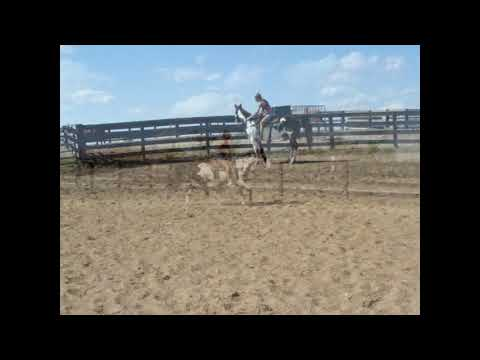SUPER FLASHY BLACK & WHITE OVERO PAINT GELDING, ANYONE CAN RIDE, SUPER GENTLE