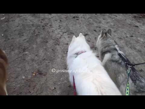 5 huskies leaving the dog park