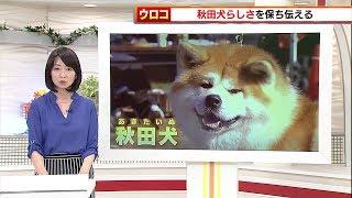 秋田犬は1931年に国の天然記念物に指定されました。 その血統を守るため...