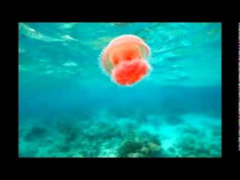 Marine Queen Jellyfish