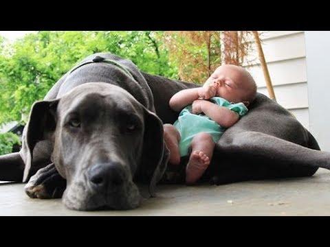 Quand les chiens protgent des bbs