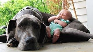 Download Quand les chiens protègent des bébés Mp3 and Videos