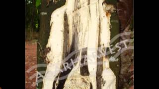 Agarwood Seeds - Tree Healthy and Beauty Products - Agarwood Thumbnail