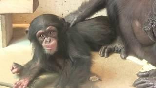 Download Video チンパンジー 双子の赤ちゃん121  Chimpanzee twin baby MP3 3GP MP4