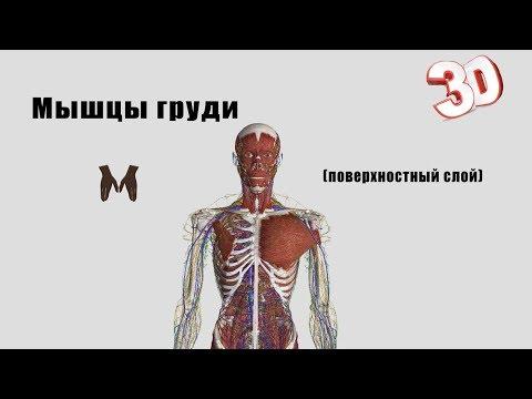 Мышцы груди (поверхностный