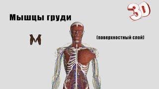 Мышцы груди (поверхностный слой) - детальный обзор 3D